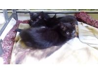 Beautiful Black Kittens