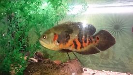 Big tiger oscar for sale 30 pound wild oscar for 10 pound and a redtail cat for 30