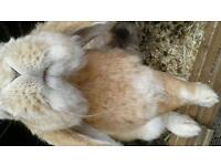 Bunnies for sale &2 hutches. Priced individually , please message to enquire