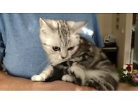 Pretty BSH silver black classic tabby. Ready now.