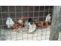 For sale hens