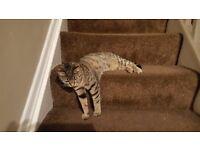 Missing grey tabby cat