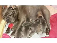 7 blue kc reg French bulldog puppies