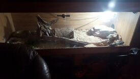 2yr old bearded dragon (female) for sale with full set up ... £100 ☺