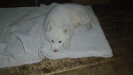 Georgous Husky Puppy *READY TO GO NOW !!!*