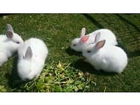 Rare white Californian baby rabbits!
