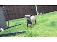 French bulldog puppies reduced ready to leave