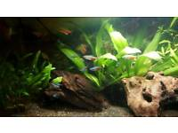 Tetras for sale