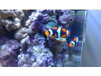 2 Clownfish who I've seen host an anemone - Would consider Swapping for more Orange Clownfish
