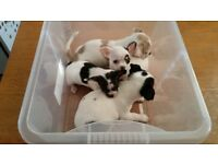 small size chihuahua puppies