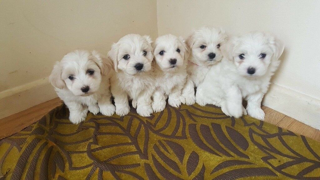 Special Colour White Champain Pedigree Maltese Pups For Sale In