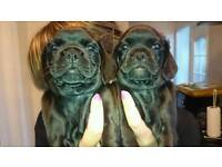 Cocker pugs for sale only have 2 boys n 2 girls left ready to leave now!!!!