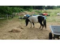 Adorable ridden shetland seeking child to call his own again...