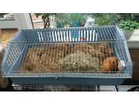 2 male guinea pigs with indoor cage, sack of food, hay