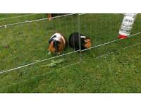 Guinea pigs looking for a new home