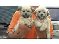 2 bichon chihuahua pups. lovely pups
