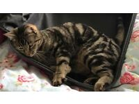 Tabby Cat missing from Cefneithin