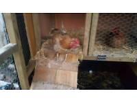 Golden hen for sale