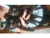 Two Beautiful Black Kittens- House Trained