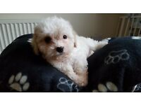 REDUCED FROM £650!!! Cavachon girl