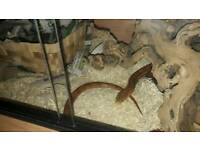 Corn Snake and set up