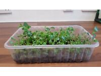 Mother of Thousands Cool Indoor Succulent House Plant | Bryophyllum daigremontianum | Leeds