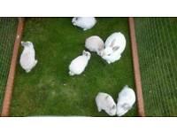Netherland dwarf x mini lop rabbits