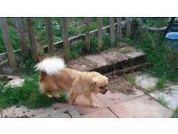 Tibetan Spaniel needs new home