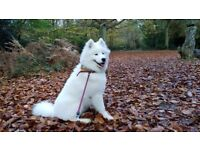 8 Month Samoyed Puppy for sale