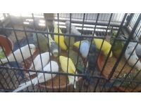Budgies for sale (pair £35)