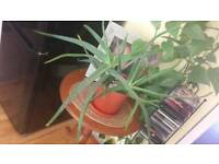 Eucaliptus large plant