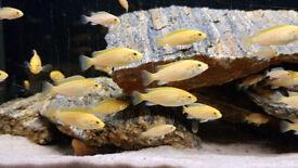 Yellow Lab. Cichlids fish