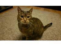 Female Neutered Cat
