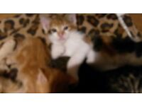 Kittens for sale 8 weeks old ready to go good colours strong stock Westbury Wilts £80. 07581162670.