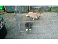 Bonded pair of rabbits for sale