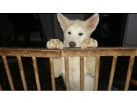 female puppy akita