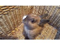 Brown Netherland Rabbit For Sale