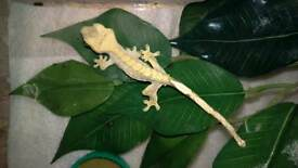 Crested geckos 2016