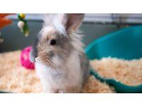 Male Lionhead Rabbit - Includes indoor hutch