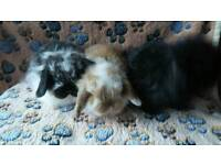 Mini lop baby rabbits ready now