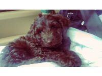 Cockapoo puppy boy for sale
