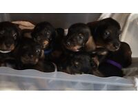 Standard wired haired dachshund pups for sale boys left kc reg