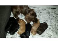 5 stunning cocker spaniel puppies