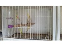 baby cockatiels for sale. £35. each.