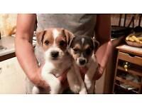 Stunning jack russell puppies