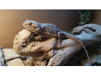 bearded dragon and full avarium setup
