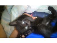 Beautiful Black Female Kitten , Still Available.