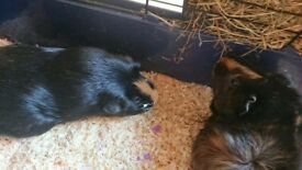 Guinea Pigs -mother and daughter