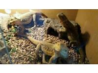 3xFemale bearded dragons and set up