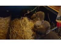Netherland dwarf rabbits